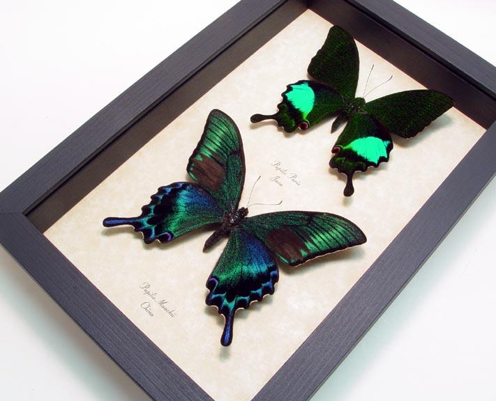 Peacock Swallowtail Butterflies Set