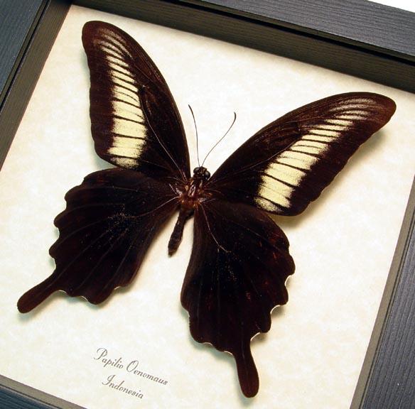 Papilio oenomaus Black Swallowtail