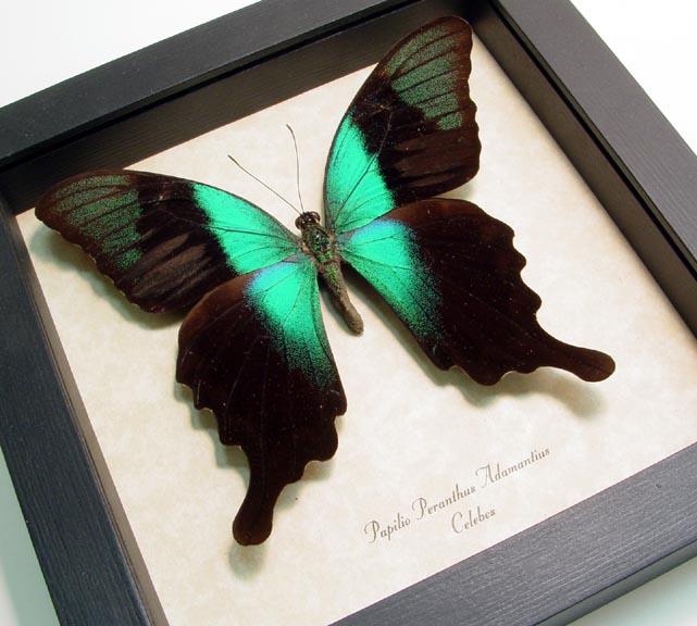 Papilio peranthus adamantius Framed Green Swallowtail