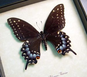 Papilio polyxenes asterius female Black Swallowtail Butterfly