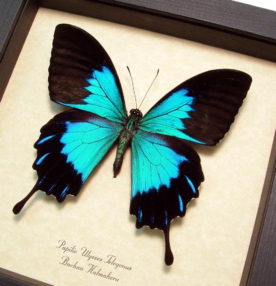 Papilio ulysses telegonus Blue Mountain Swallowtail butterfly