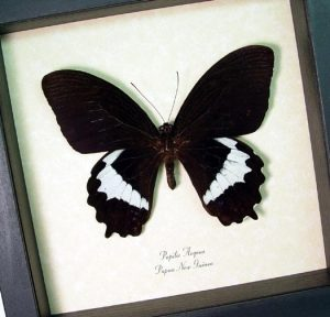 Papilio aegeus Orchid Swallowtail Black Butterfly
