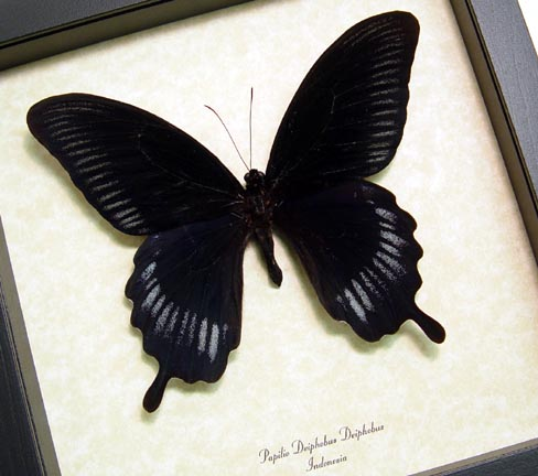 Papilio deiphobus Black Swallowtail Butterfly