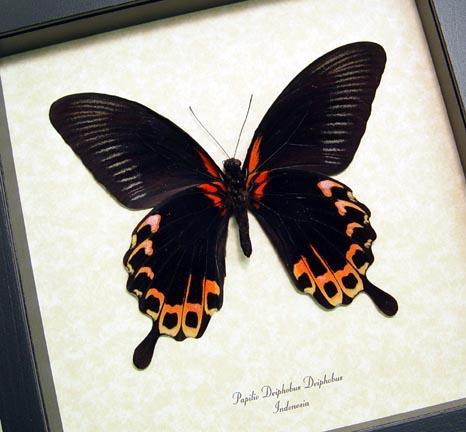 Papilio deiphobus Verso Giant Black Red Swallowtail