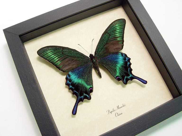 Papilio maackii Summer Form Green alpine black Swallowtail Butterfly