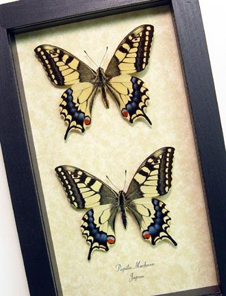 Papilio machaon Pair