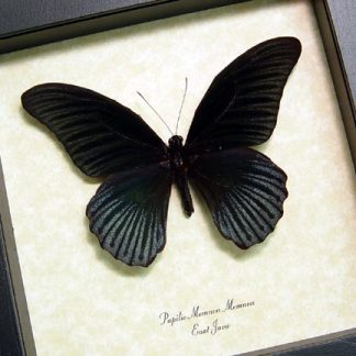 Black Butterflies Insects & More