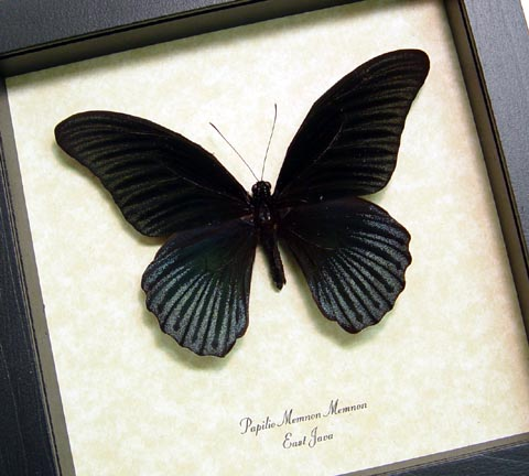 Papilio Memnon Great Mormon Black Butterfly