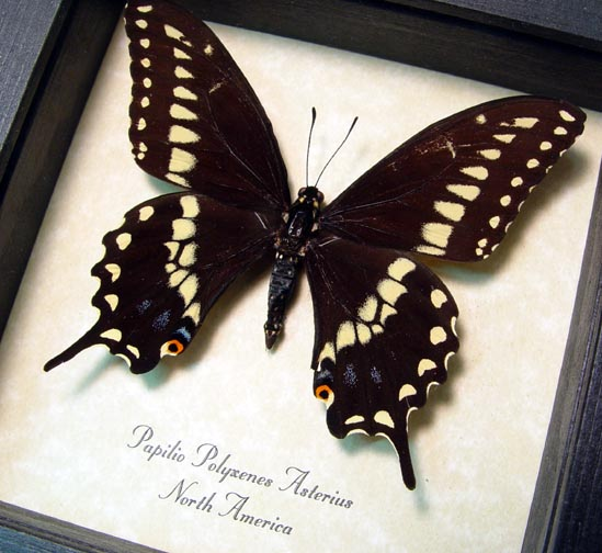 Papilio polyxenes Eastern Black Swallowtail Butterfly