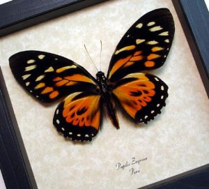 Papilio zagreus Orange Tiger Butterfly