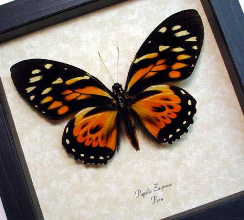 Papilio zagreus Orange Tiger Butterfly