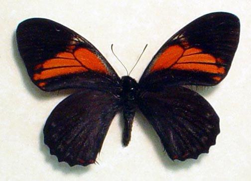 Papilio euterpinus Red Black Butterfly