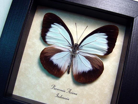 Pareronia aviena Powder Blue Butterfly