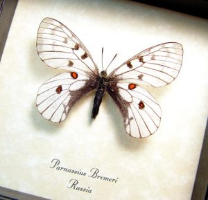 Parnassius bremeri Snow Apollo Russian Butterfly