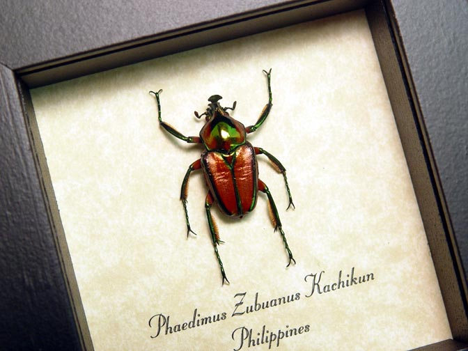 Phaedimus zebuanus Red Horned Beetle