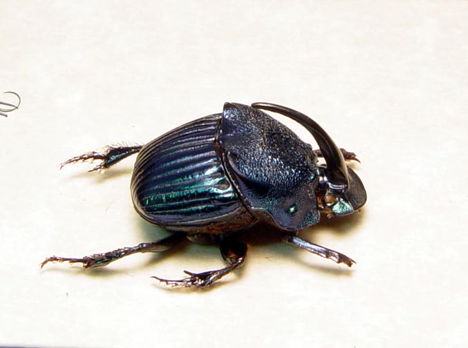 Phanaeus amethystinus Male Scarab