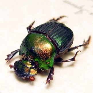Phanaeus igneus Female The Rainbow Scarab Real Framed Insect