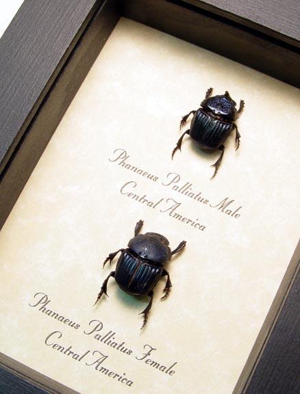Phanaeus palliatus Pair Scarab Beetles