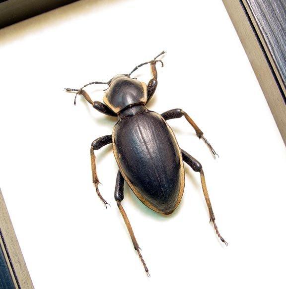 Phanerotomea bertolonii Darkling Beetle