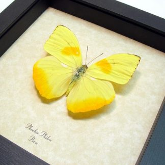 Yellow Butterflies, Insects & More