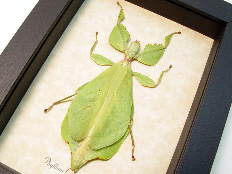 Phyllium celebicum Green Leaf Mimic Insect Real Framed Insect