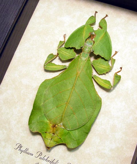 Phyllium pulchrifolium Natural Mount Framed Walking Leaf Insect