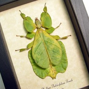 phyllium_pulchrifolium_female real framed insect displays