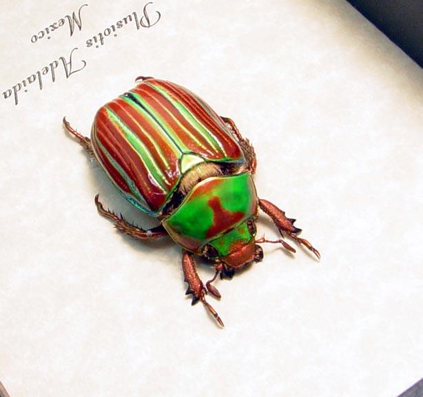 Plusiotis adelaida Jewel Scarab Beetle