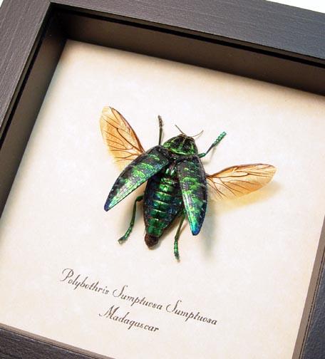 Polybothris sumptuosa Flying Jewel Beetle