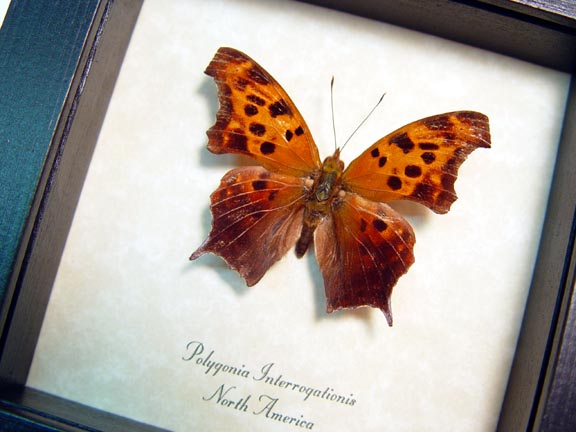 Polygonia interrogationis Question Mark Butterfly