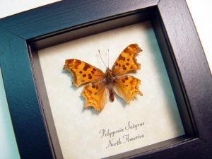 Polygonia satyrus Satyr Comma North American Butterfly