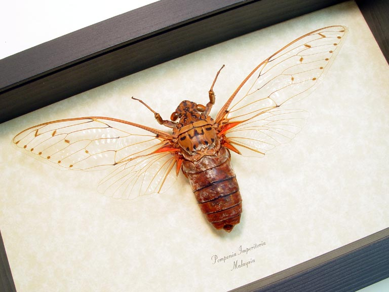 Pomponia Imperatoria Worlds Largest Cicada