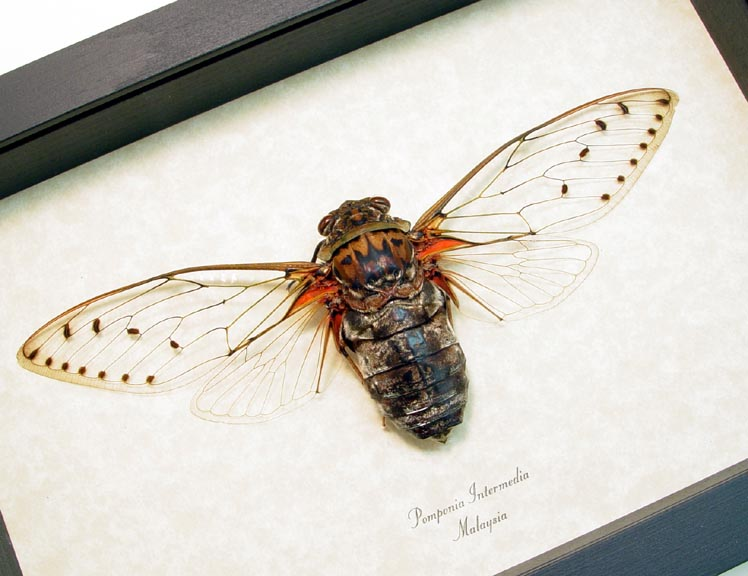 Pomponia intermedia Giant Clear Winged Cicada
