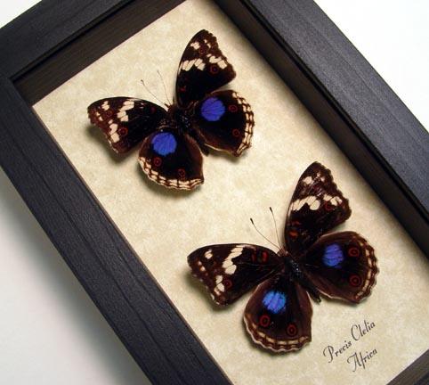 Precis Clelia Pair African Butterflies