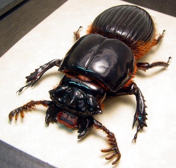 Proculus goryi 70mm Bess Bug Framed Beetle