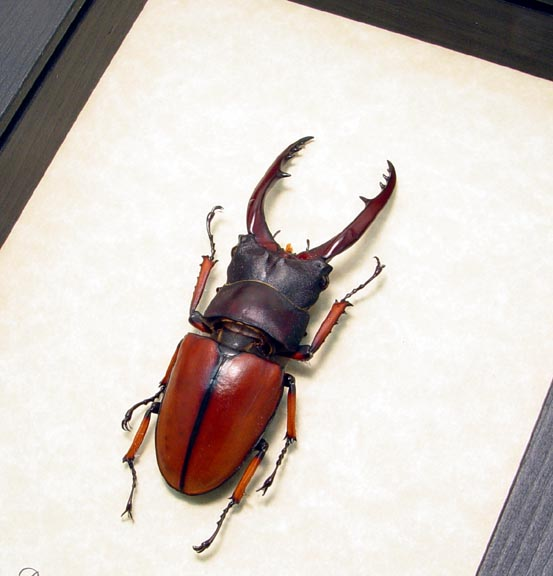 Prosopocoilus Astacoides 65mm Stag Beetle