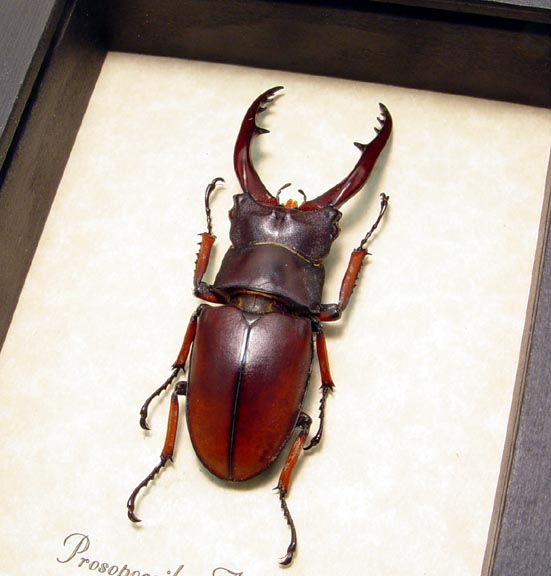 Prosopocoilus astacoides 55mm Stag Beetle