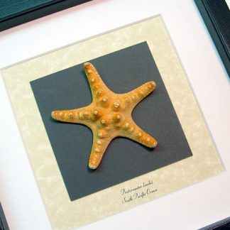 Protoreaster linckii, the red knob sea star, Real Framed Starfish