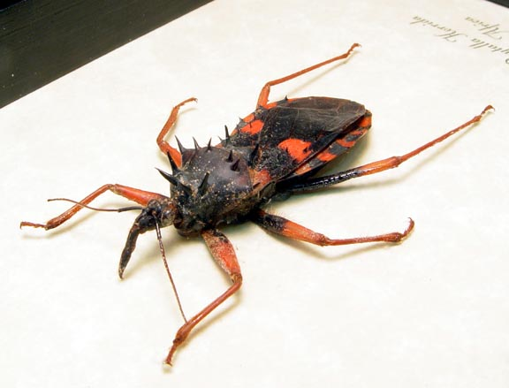 Psytalla horrida Assassin Bug Horrid King