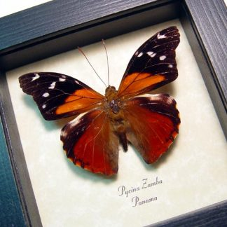 Pycina zamba Rainforest Sunset Real Framed Butterfly