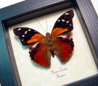 Pycina zamba Rainforest Sunset Real Framed Butterfly