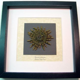 Pycnopodia helianthoides, Sunflower sea star, Real Framed Starfish