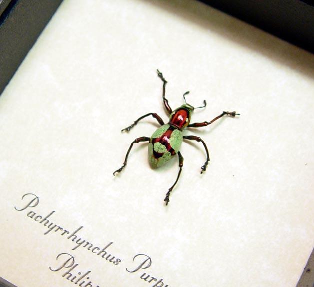 Pachyrhynchus purpureus Raspberry Pistachio Clown Beetle Weevil