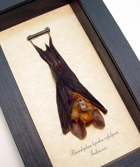 Bat-Small Rhinolophus lepidus refulgens Resting Orange Horse Shoe Bat Real Framed Taxidermy