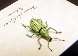 Rhinoscapha Glowing florescent Green Weevil Beetle