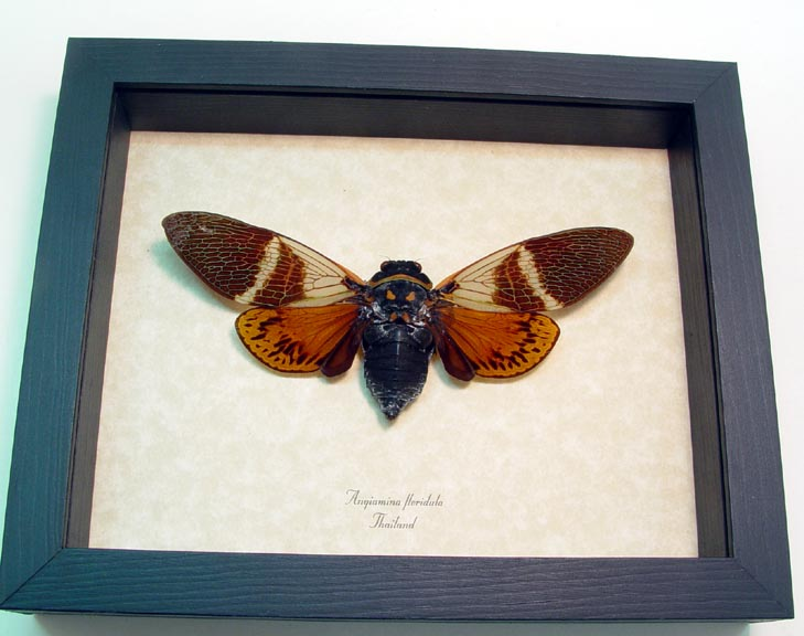 Angamiana floridula Rusty Cicada Framed Insect