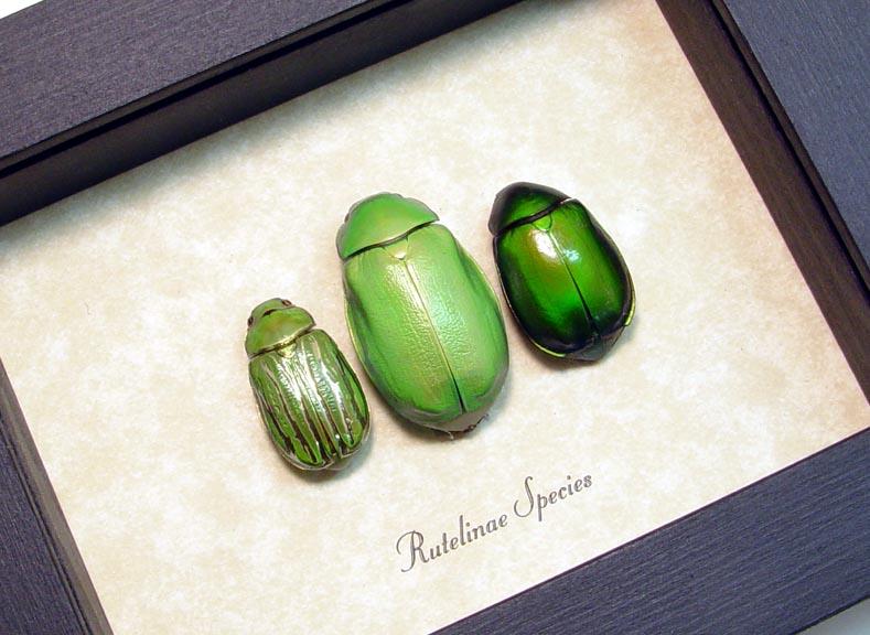 Rutelinae Set Leaf Beetles