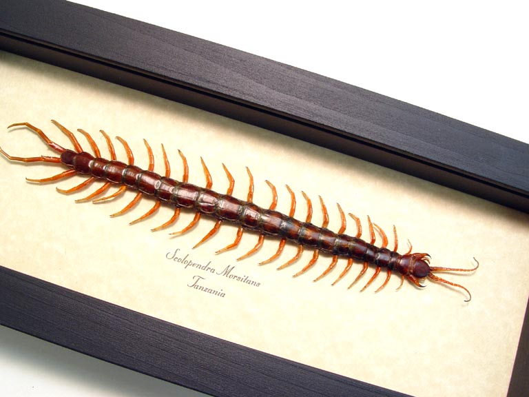 Scolopendra morsitans Poisonous Centipede