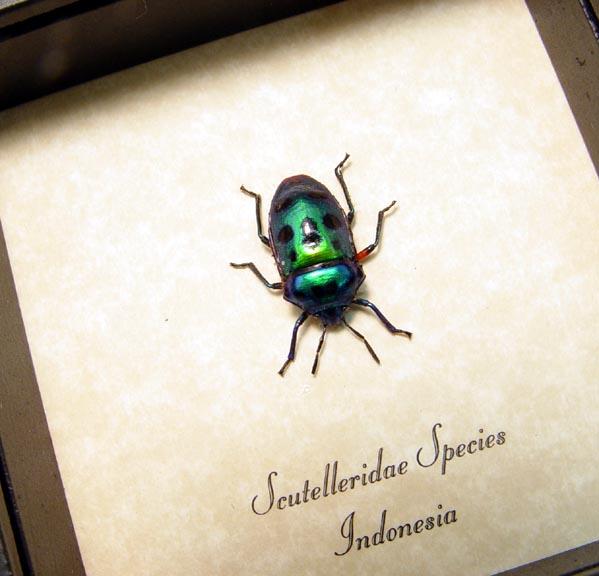 Scutelleridae Green Man Face Beetle