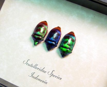 Scutelleridae sp Trio Rare Metallic Green Blue Man Shield Face Real Framed Beetle